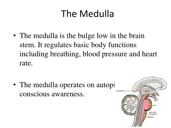 The Medulla