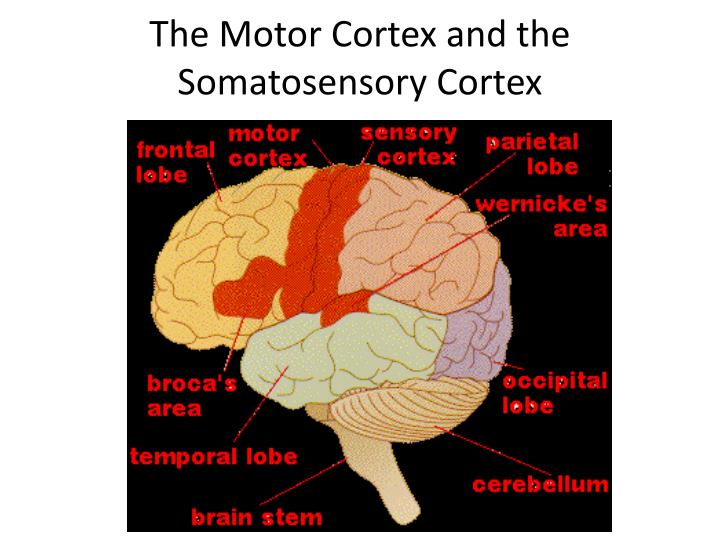 The Motor Cortex and the Somatosensory Cortex