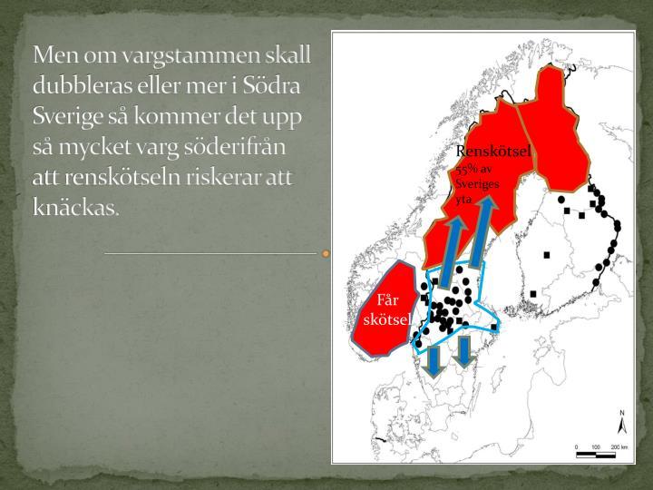 Men om vargstammen skall dubbleras eller mer i Sdra Sverige s kommer det upp s mycket varg sderifrn att rensktseln riskerar att knckas.