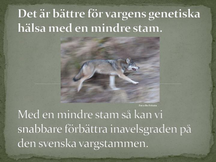 Det r bttre fr vargens genetiska hlsa med en mindre stam.