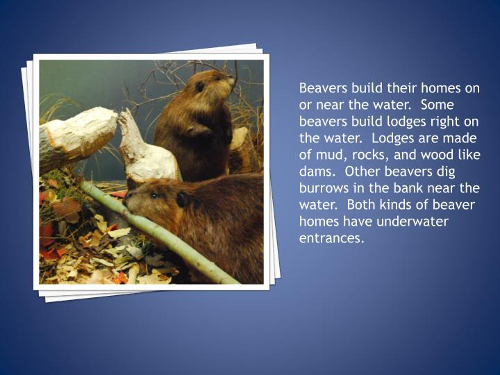 Beavers build their homes on or near the water.  Some beavers build lodges right on the water.  Lodges are made of mud, rocks, and wood like dams.  Other beavers dig burrows in the bank near the water.  Both kinds of beaver homes have underwater entrances.