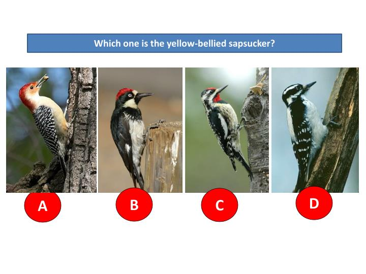 Which one is the yellow-bellied sapsucker?