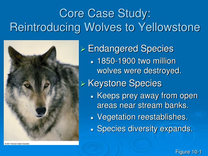 Reintroduction of Wolves to Yellowstone Led to Unexpected Ecological Response