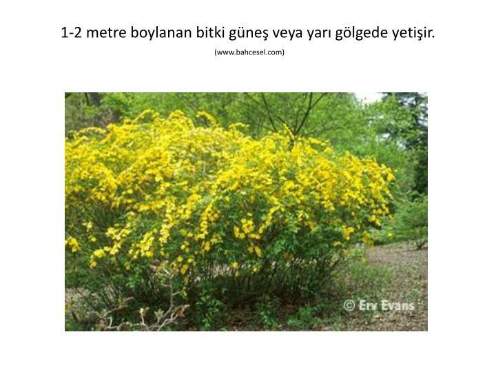 1-2 metre boylanan bitki gne veya yar glgede yetiir.