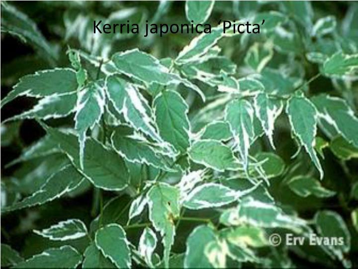 Kerria japonica Picta