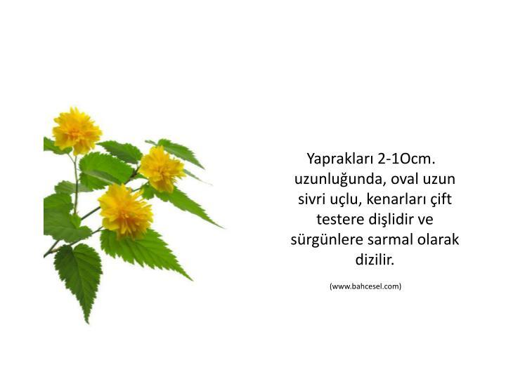 Yapraklar 2-1Ocm. uzunluunda, oval uzun sivri ulu, kenarlar ift testere dilidir ve srgnlere sarmal olarak dizilir.