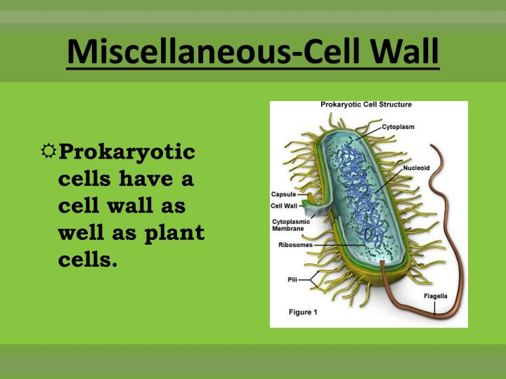 Miscellaneous-Cell Wall
