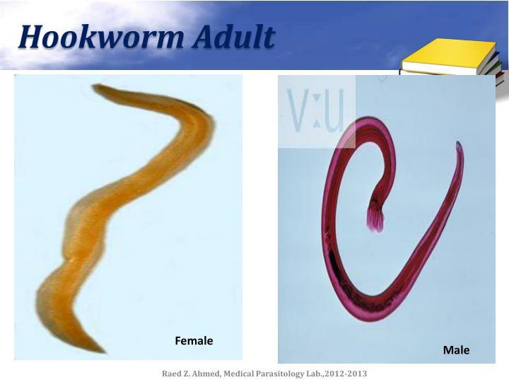 Hookworm Adult