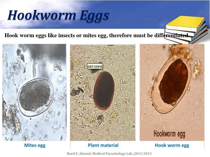 Hookworm Eggs