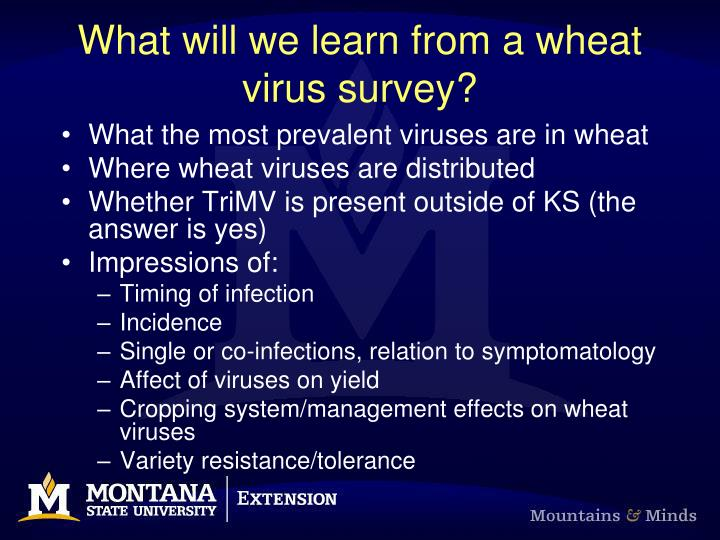 What will we learn from a wheat virus survey?