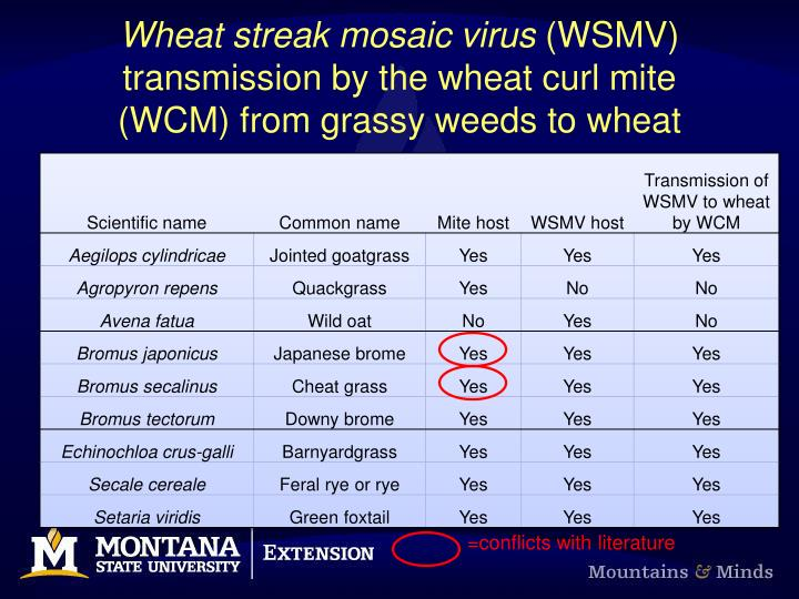 Wheat streak mosaic virus