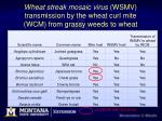 wheat streak mosaic virus wsmv transmission by the wheat curl mite wcm from grassy weeds to wheat
