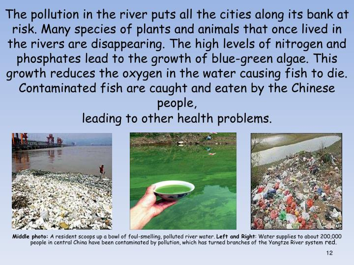 The pollution in the river puts all the cities along its bank at risk. Many species of plants and animals that once lived in the rivers are disappearing. The high levels of nitrogen and phosphates lead to the growth of blue-green algae. This growth reduces the oxygen in the water causing fish to die. Contaminated fish are caught and eaten by the Chinese people,