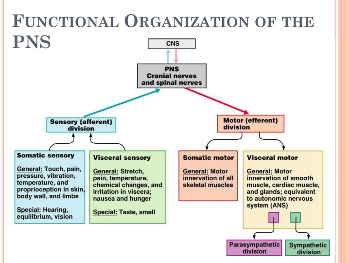 Functional Organization of the PNS