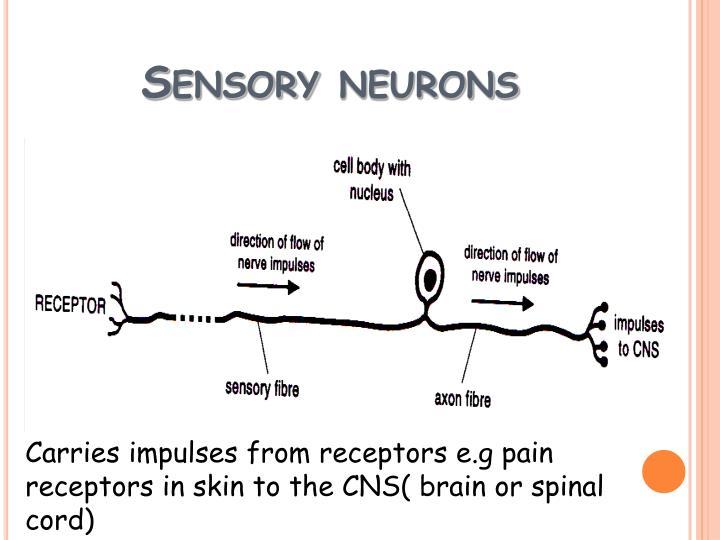 Sensory neurons