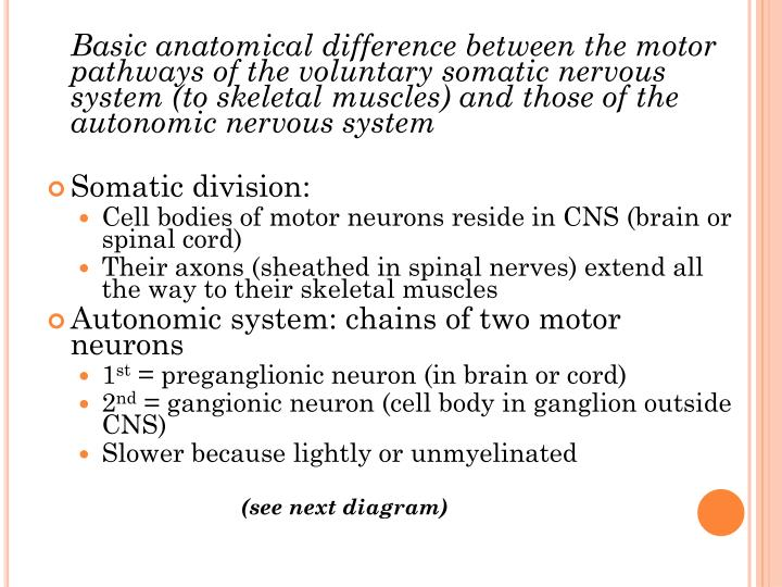 Basic anatomical difference between the motor pathways of the voluntary somatic nervous system (to skeletal muscles) and those of the autonomic nervous system