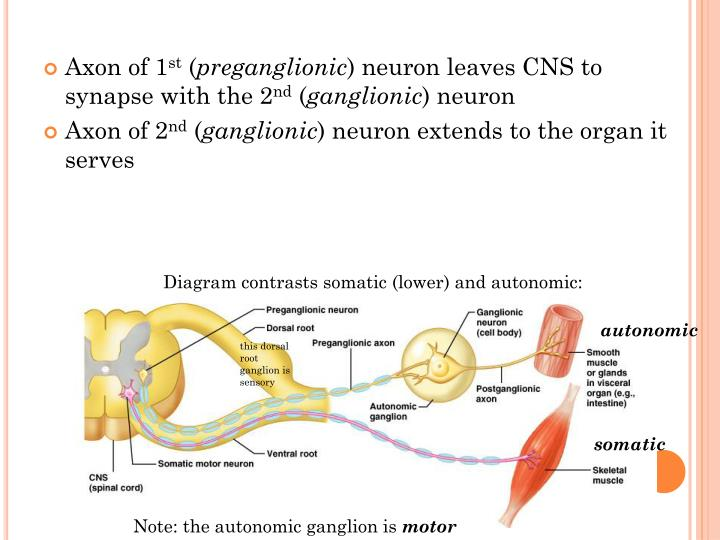 Axon of 1