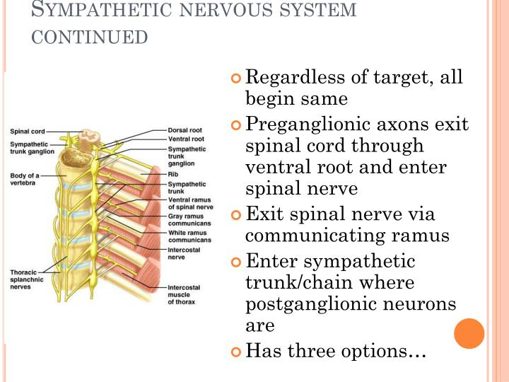 Sympathetic nervous system continued