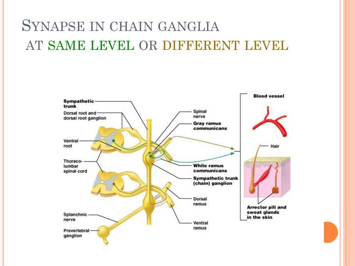 Synapse in chain ganglia