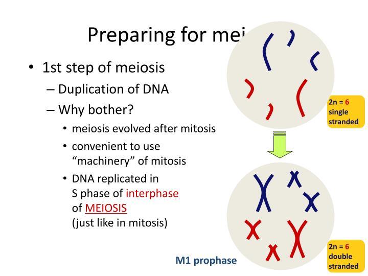 Preparing for meiosis
