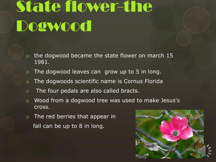 State flower the dogwood