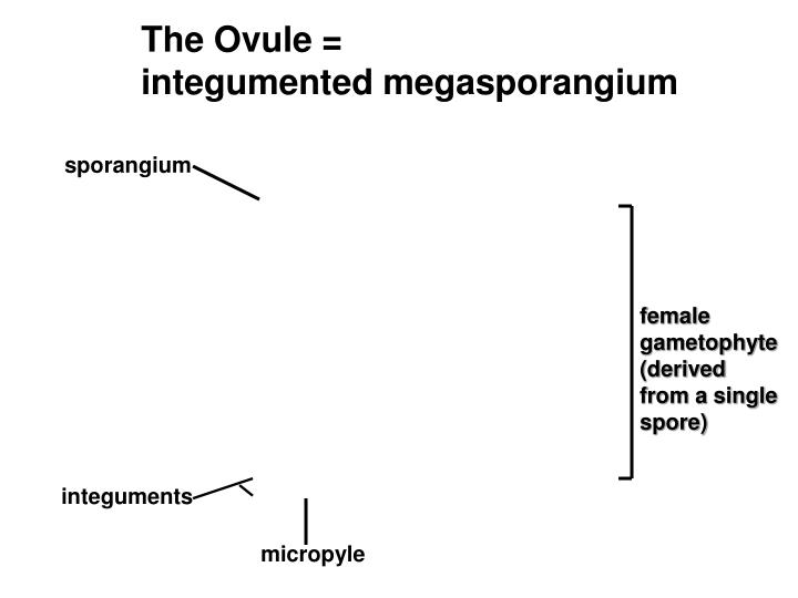 The Ovule =