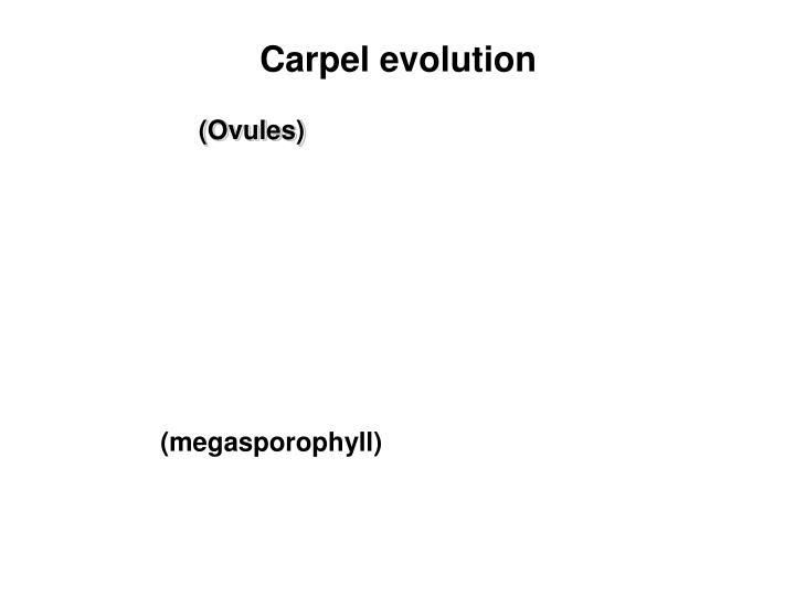 Carpel evolution