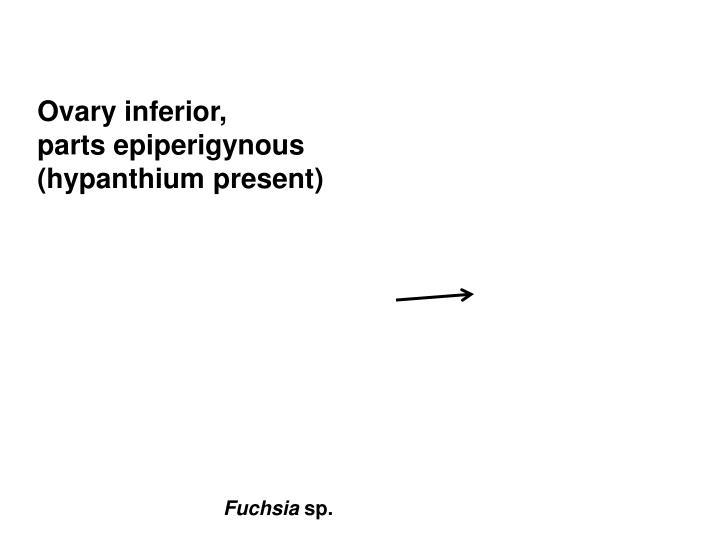 Ovary inferior,