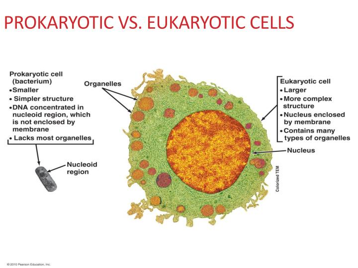 the evolutionary relationship between prokaryotic and eukaryotic cells Diverged early from the eukaryotic evolutionary  a possible relationship between the  that two prokaryotic cells.