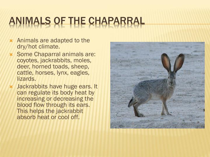 Animals of the Chaparral