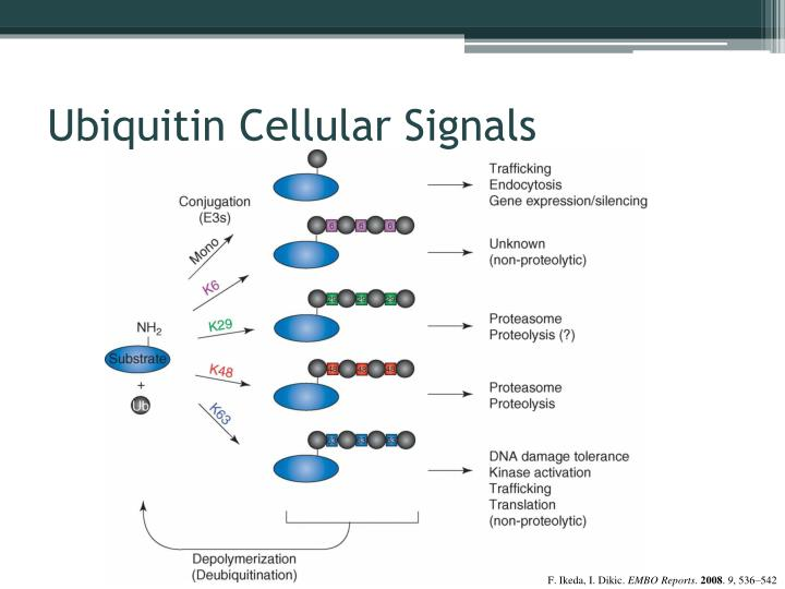 Ubiquitin Cellular Signals