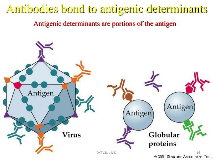 Antibodies bond to antigenic determinants