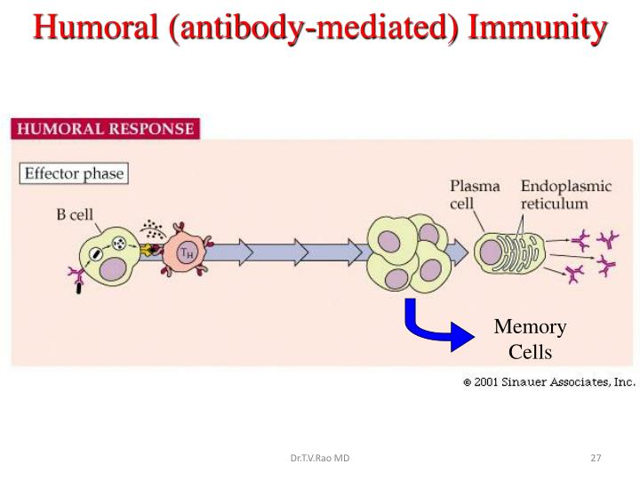Humoral (antibody-mediated) Immunity