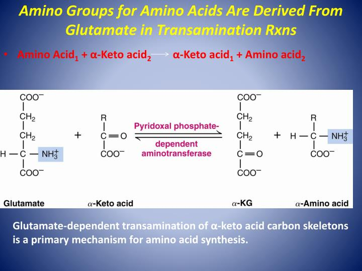 Amino Groups for Amino Acids Are Derived From Glutamate in Transamination Rxns