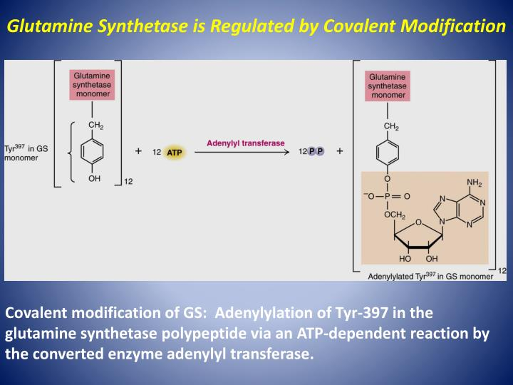 Glutamine Synthetase is Regulated by Covalent Modification