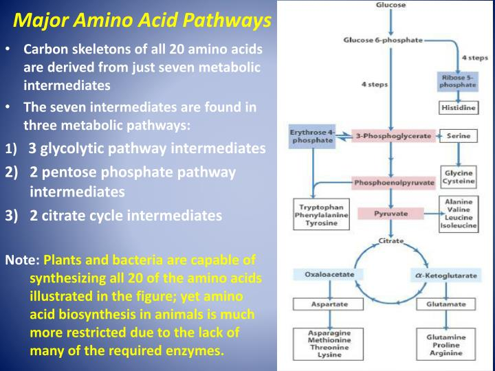Major Amino Acid Pathways
