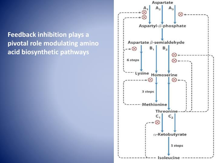 Feedback inhibition plays a pivotal role modulating amino acid biosynthetic pathways