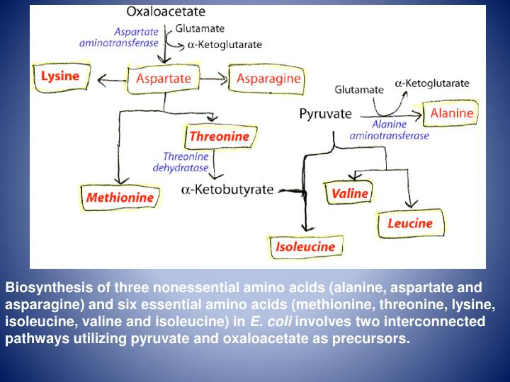 Biosynthesis of three nonessential amino acids (alanine, aspartate and asparagine) and six essential amino acids (methionine, threonine, lysine, isoleucine, valine and isoleucine) in