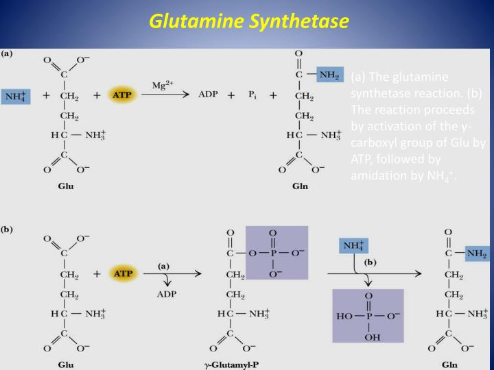 Glutamine Synthetase
