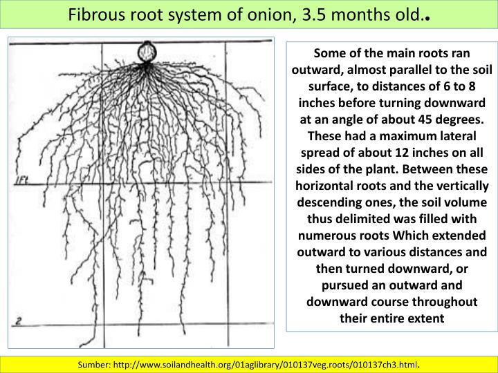 Fibrous root system of onion, 3.5 months old.