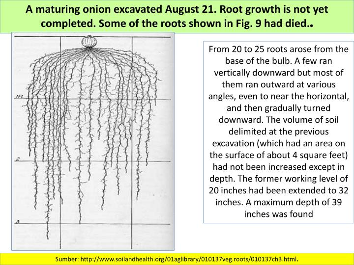 A maturing onion excavated August 21. Root growth is not yet completed. Some of the roots shown in Fig. 9 had died.