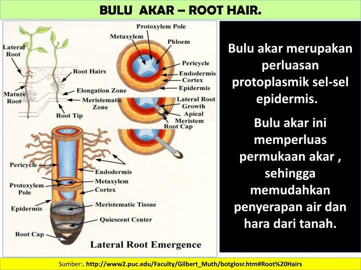 BULU  AKAR – ROOT HAIR.