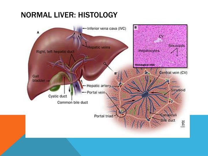 Normal liver: Histology