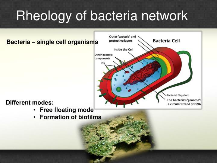 Rheology of bacteria network