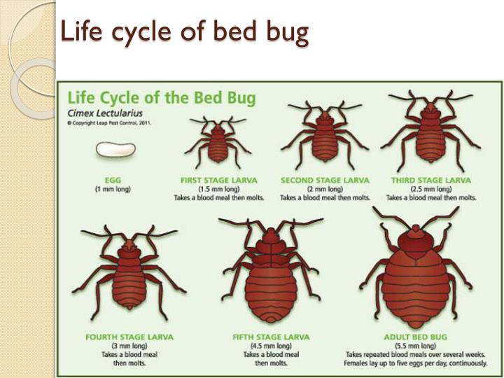 Classification Of Bed Bug