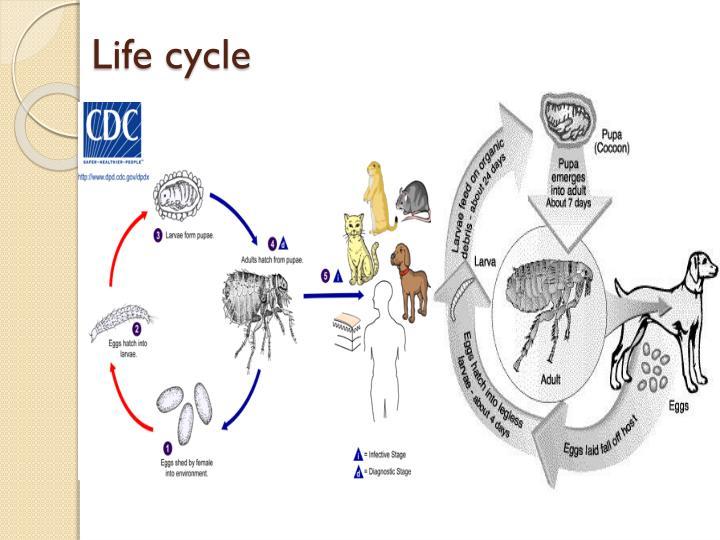Xenopsylla Cheopis Life Cycle PPT - Flea & Be...