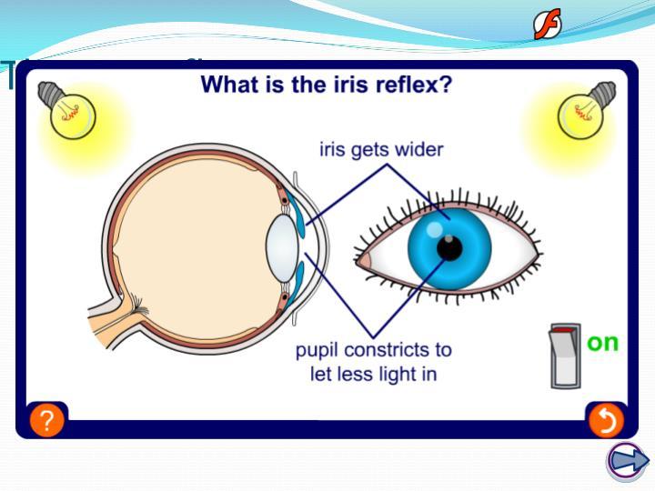 The iris reflex
