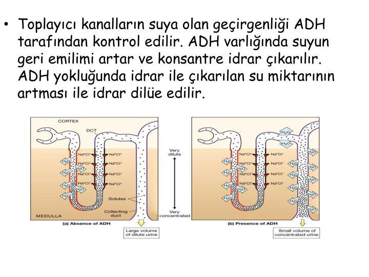Toplayıcı kanalların suya olan geçirgenliği ADH tarafından kontrol edilir. ADH varlığında suyun geri emilimi artar ve konsantre idrar çıkarılır. ADH yokluğunda idrar ile çıkarılan su miktarının artması ile idrar dilüe edilir.