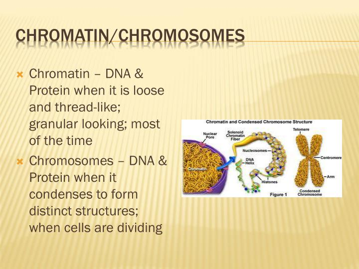Chromatin/Chromosomes