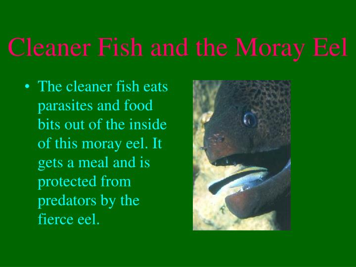 Cleaner Fish and the Moray Eel